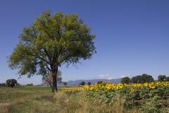 Lokalisierter Baum gegen den blauen Himmel Lizenzfreie Stockfotos