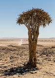 Lokalisierter Bebenbaum, Aloe Dichotoma Lizenzfreies Stockfoto