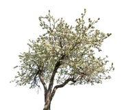 Lokalisierter blühender alter Apfelbaum Stockfoto