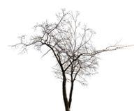 Lokalisierter bloßer Baum des Winterzwillings Lizenzfreie Stockfotografie