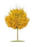 Lokalisierter Feldahornbaum Stockbilder