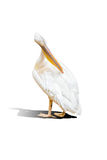 Lokalisierter großer weißer Pelikan Lizenzfreies Stockfoto