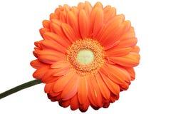 lokalisierter Makrofotoschönheit roter Gerbera-Blumenabschluß herauf Hintergrund Lizenzfreies Stockfoto