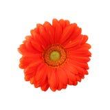 lokalisierter Makrofotoschönheit roter Gerbera-Blumenabschluß herauf Hintergrund Lizenzfreie Stockfotos