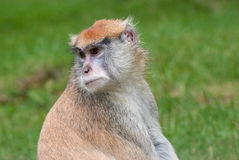 Lokalisierter Patas-Affe, Erythrocebus patas Stockfotografie