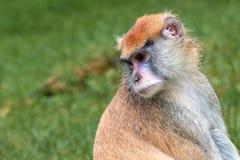 Lokalisierter Patas-Affe, Erythrocebus patas Lizenzfreie Stockbilder