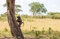 Lokalisierter Pavian, der auf einem Stein in der Savanne des Masais Mara sitzt Lizenzfreie Stockbilder