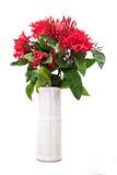 Lokalisierter Rubiaceae im weißen Vase Lizenzfreies Stockfoto