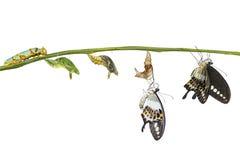 Lokalisierter UmwandlungsLebenszyklus mit einem Band versehenen swallowtail butterf stockfoto