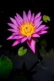 Lokalisierter violetter Lotos Stockfotografie