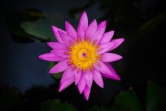 Lokalisierter violetter Lotos Lizenzfreie Stockfotografie
