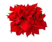 Lokalisierter weißer Hintergrund der Weihnachtsblume rote Poinsettia stockfoto