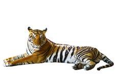 Lokalisierter weißer Hintergrund des indo-chinesischen Tigergesichtes, das mit r liegt Stockbild