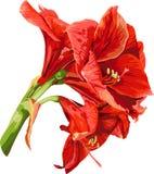 Lokalisiertes ausführliches Bild der Amaryllisblume auf a Stockfotos