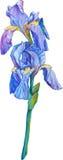 Lokalisiertes ausführliches Bild der Irisblume auf einem Stamm Stockfotografie