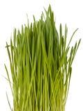 Lokalisiertes grünes Gras lizenzfreies stockfoto