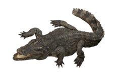 Lokalisiertes Krokodil lizenzfreies stockfoto