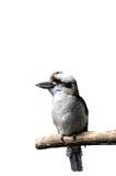 Lokalisiertes lachendes kookabura, das auf einer Niederlassung sitzt lizenzfreies stockbild