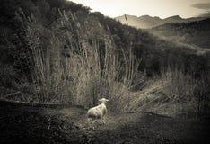 Lokalisiertes Lamm, das Hügel La Garrotxa, Spanien anstarrt Stockfotos