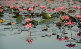 Lokalisiertes Lotus Stockbilder
