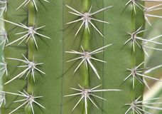 Lokalisiertes Makro eines stacheligen Kaktus, der Dorne zeigt stockbild