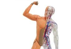 Lokalisiertes menschliches Anatomiemodell Stockfoto