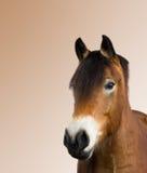 Lokalisiertes Porträt eines braunen Pferds Stockfotos