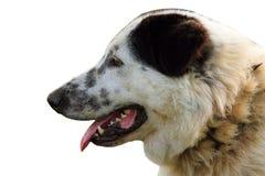 Lokalisiertes Porträt des rumänischen Schäferhundes Lizenzfreie Stockfotografie