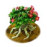 Lokalisiertes Rot blüht Wüstenrose- oder Impalalilie Stockbilder