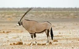 Lokalisiertes Seitenprofil eines Gemsbok Oryx Lizenzfreie Stockfotos