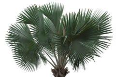 Lokalisiertes stan allein der Palme stockfotos