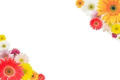 Lokalisiertes Transvaal-Gänseblümchen Lizenzfreies Stockfoto