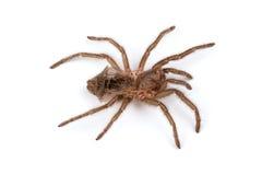 Lokalisiertes Trieb von Spinne ` s Haut stockfoto