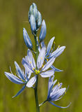 Wilde blaue Camas-Lilien Lizenzfreies Stockfoto