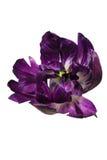 Lokalisiertes violettes Blumenblatt der Pfingstrose Lizenzfreie Stockfotos