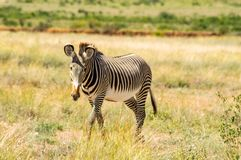 Lokalisiertes Zebra, das in die Savanne von Samburu-Park geht lizenzfreie stockbilder