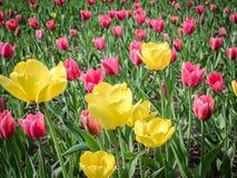 Lokalisierung auf dem Weiß Schöner Blumenstrauß der Tulpen Bunte Tulpen Tulpen im Frühjahr am Garten, bunte Tulpe, Natur Lizenzfreie Stockfotografie