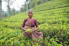 Lokalna kobieta Zbiera Herbacianych liście na plantaci, Sri Lanka - 22 2017 Styczeń zdjęcia stock