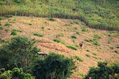 Lokalny średniorolny przewożenia siano na jego ziemi w Laos Zdjęcie Royalty Free