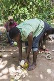 Lokalny mężczyzna otwiera koks w dżungli Obraz Royalty Free
