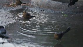 Lokalt djurt djurlivfågelbad i parkeringsplatsvattenpölar lager videofilmer
