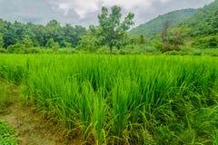 Lokalt folk för risfält i morgonen Arkivfoto