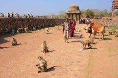Lokalt folk som går runt om det Ranthambore fortet bland grå langur Fotografering för Bildbyråer