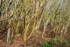 Lokalt plantera för skogsbruk av hundratals träd för europeisk avenbok mycket tätt tillsammans som bildar en tjock småskog på båd Fotografering för Bildbyråer