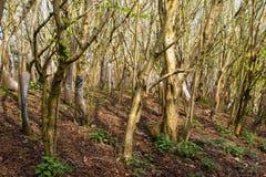 Lokalt plantera för skogsbruk av hundratals träd för europeisk avenbok mycket tätt tillsammans som bildar en tjock småskog på båd Arkivfoton
