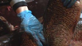 Lokalvård och klipp av den nya fisken arkivfilmer