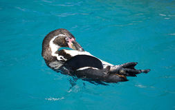 Lokalvård och sväva för Humboldt pingvin Arkivfoto