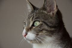 Beautiful portrait of gray tabby cat stock image