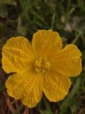 Loki amarillo de la flor foto de archivo libre de regalías