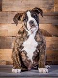LOKI - Viejo inglés Bulldogge - berrendo - 5 meses Fotos de archivo libres de regalías